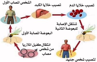 تنتقل الملاريا بين البشر من خلال لدغات